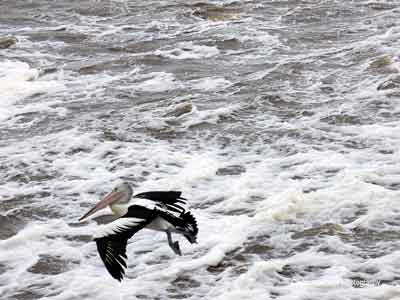 Birds enjoy the River Torrens water discharge into the ocean.